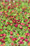 Many alive red flowers Stock Photo