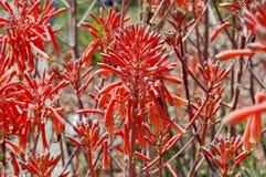 Many Aloe Vera Flowers Royalty Free Stock Photos
