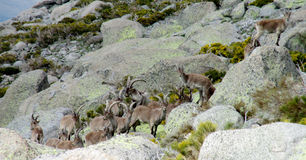 Many Alpine mountain goats, Alpine ibex, in the wild nature on green grass Stock Image