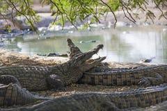 Many American crocodiles Stock Photos