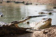 Many American crocodiles Stock Images