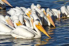 Group of white pelicans clustered together swimming. Many American White Pelicans swimming on a lake looking for food. Pelicans have an overall length of about royalty free stock image