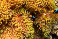 Many anemone fish in anemone Stock Photos