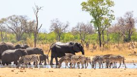Many animals at a waterhole in Hwange National Park with a natural bush background. Large group of animals visit the water waterhole to take a drink in Hwange stock photos