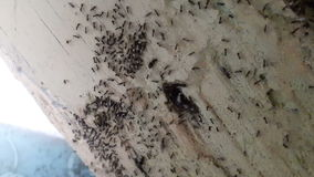 Many ants carrying eggs to higher ground stock video