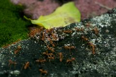 Many ants teamwork with each other helping alertness and monitor. Ing which in the nature of ants royalty free stock photography