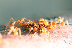Many ants are walking on timber. Stock Photography