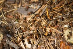 Many ants working together. Close up royalty free stock images