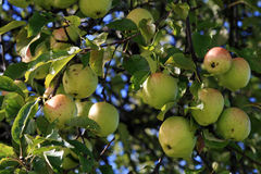 Many apples hang on the tree Stock Image