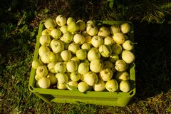 Free Many Apples In A Light Green Box On Street, Free Distribution Royalty Free Stock Photography - 195786937