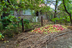 Many apples. On natural background in the countryside stock photos