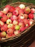 Many apples Stock Images