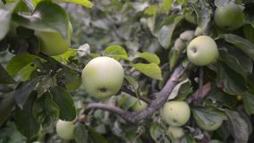 Many apples on tree. Many green apples ripening in tree branches by summer, pan camera movement stock video
