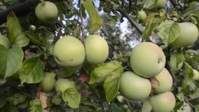 Many apples on tree. Many apples ripening on tree branches by summer evening stock footage