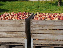 Many apples in wooden boxes Royalty Free Stock Image