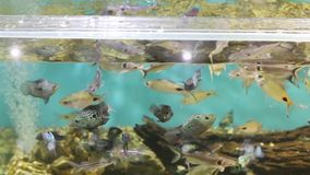 Many aquarium fishes feed in pure transparent water stock video footage