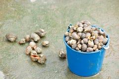 Many Asari. Many Asari shellfish for food Royalty Free Stock Photo
