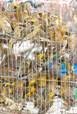 Many Asian Golden Weaver Were Imprison In Cage. At Temple Some Merchants Sell The Bird's Freedom To Tourist And They Will Catch Them To Sell Again royalty free stock photography