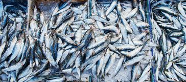Many Atlantic sardines fish are sold in boxes in the Moroccan ma royalty free stock photography