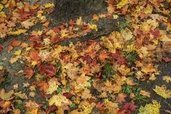 Many autumn leaves on the ground Royalty Free Stock Image