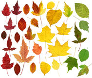 Many autumn leaves Royalty Free Stock Images