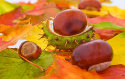 Many autumn leaves with some chestnuts. Many autumn leaves with some fresh chestnuts Stock Photos