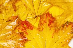 Many autumn yellow maple leaves with patterns. On them royalty free stock images