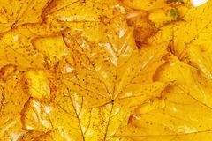 Many autumn yellow maple leaves with patterns. On them stock photos