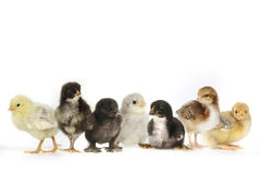 Many Baby Chick Chickens Lined Up on White Royalty Free Stock Images