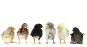 Many Baby Chick Chickens Lined Up on White Royalty Free Stock Image