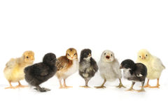 Many Baby Chick Chickens Lined Up on White Royalty Free Stock Photos