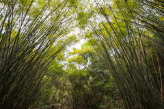 Bamboo forest. Many bamboo on both sides Royalty Free Stock Photos