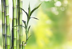 Many bamboo stalks  on background. Bamboo stalks green color white background vibrant Royalty Free Stock Photos