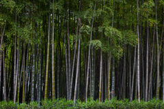 Many bamboo stalks, bamboo trees, horizontal. Photo Royalty Free Stock Image