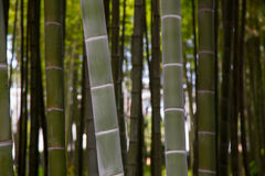 Many bamboo stalks, bamboo trees. Hotizontal photo Royalty Free Stock Photography