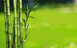 Many bamboo stalks on blurred background. Bamboo stalks green color white background vibrant Royalty Free Stock Images
