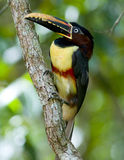 Many-banded Aracari. A Chestnut-eared Aracari (Toucan) perched on a vine - Argentina Royalty Free Stock Photography