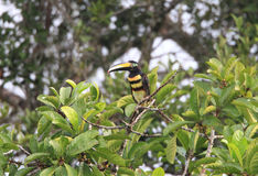 Many-banded Aracari Royalty Free Stock Image