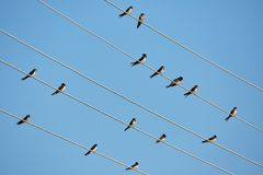 Barn swallows perched on telephone wires Royalty Free Stock Image
