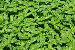 Many basil trees Stock Photo