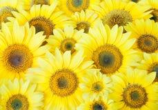Many beautiful big sunflower background Royalty Free Stock Photos