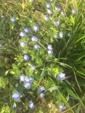 Many beautiful blue small flowers in the early spring royalty free stock photos