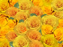 Background of bright yellow roses. Royalty Free Stock Photography
