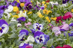 Many Beautiful Colorful Flowers in Rows.  Royalty Free Stock Photo
