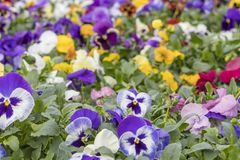 Many Beautiful Colorful Flowers in Rows.  Stock Photography