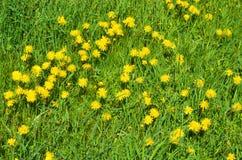 So many beautiful dandelion like a carpet stock image