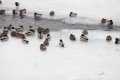 Life ducks in winter royalty free stock photo