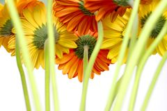 Many Beautiful Gerberas Stock Photography