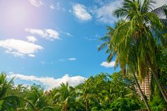Many beautiful high Palm trees grow near, aleya palms, tropical island and beautiful trees grow to the sky. Asia. Tropical Royalty Free Stock Photo