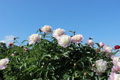 Many beautiful peonies. Many bright peons against the blue sky Stock Image